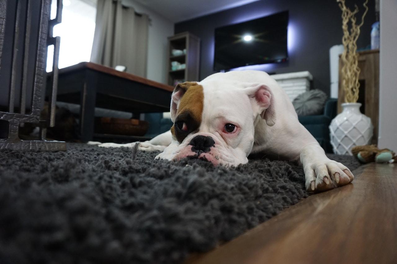 adorable dog rug