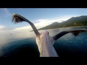 GoPro: Pelican Learns To Fly (Pelicans are vain)
